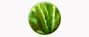 aloe-barbadensis1-temp
