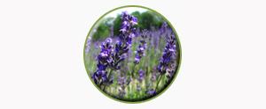lavender1-temp