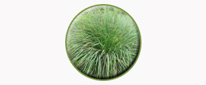 lemongrass1-temp