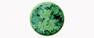 moringa-oleifera3-temp